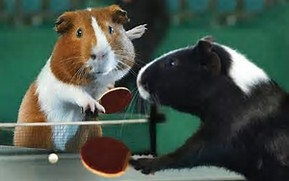 guinea-pigs-playing-ping-pong